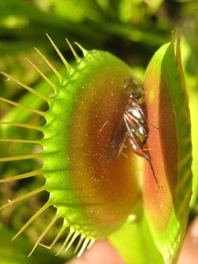 plante carnivore a madagascar